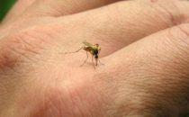 Se detectarons Larvas de Aedes en Tacuarembó