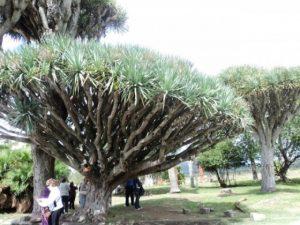 dracaena draco piria uruguay1