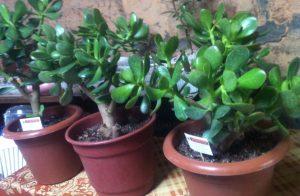 planta-de-jade abundancia