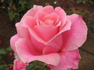rosa.rosa_