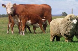 vaca-oveja1 - precio hacienda
