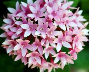 Flores de una Estrellita de jardín, género Pentas