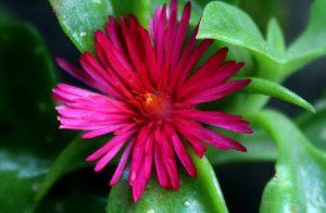 La planta Rocío, Aptenia cordifolia
