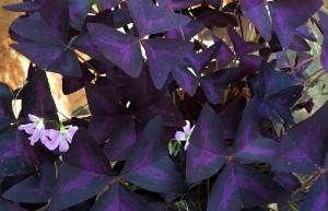 Las flores de Oca, género Oxalis mal llam treboles