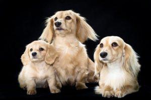 Un-laboratorio-en-Corea-clona-tu-perro-por-100-mil-dolares-002