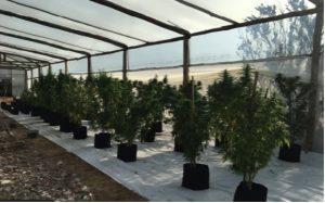 plantas de cannabis 1